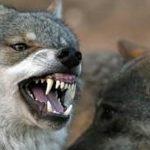 lobo--644x362